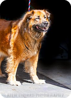 Chow Chow Mix Dog for adoption in Southern Pines, North Carolina - Maddie