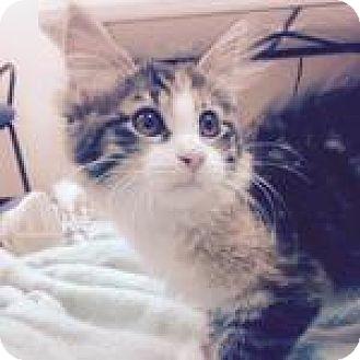 Domestic Longhair Kitten for adoption in Wheaton, Illinois - Asiago