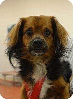 Papillon Mix Dog for adoption in Miami, Florida - Urban