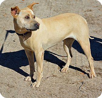Shar Pei Mix Dog for adoption in Mountain Center, California - Fergie