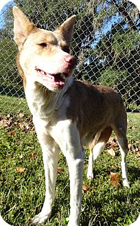 Siberian Husky Mix Dog for adoption in Brooksville, Florida - LACEY