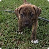 Adopt A Pet :: Flint - Gainesville, FL