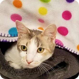 Calico Cat for adoption in Stillwater, Oklahoma - Scotti