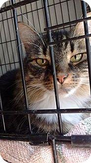 Domestic Longhair Cat for adoption in Acushnet, Massachusetts - LuLu #2