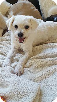 Maltese Mix Dog for adoption in Oakton, Virginia - Sunshine