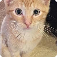 American Shorthair Kitten for adoption in Sedalia, Missouri - Marty