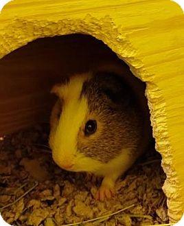 Guinea Pig for adoption in Fairfax, Virginia - Claus