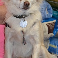 Pomeranian/Chihuahua Mix Dog for adoption in Simi Valley, California - Harley