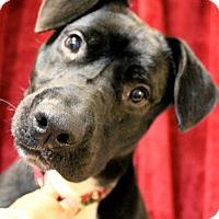 Adopt A Pet :: Gemini - East Hartford, CT