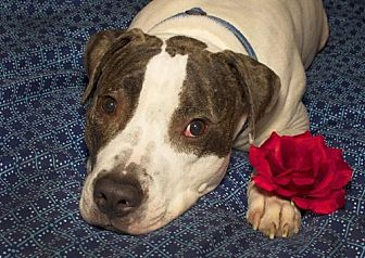 American Staffordshire Terrier/Pointer Mix Dog for adoption in Nashville, Tennessee - Hoss
