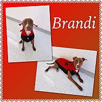 Adopt A Pet :: Brandi - Pawsitive Direction - Loxahatchee, FL