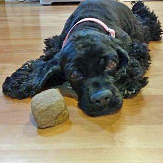 Cocker Spaniel Dog for adoption in Parker, Colorado - Katrina R 17-003