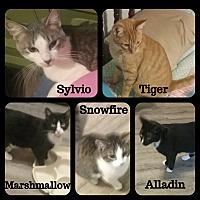 Adopt A Pet :: cats - 4 boys, 1 girl - Malvern, AR