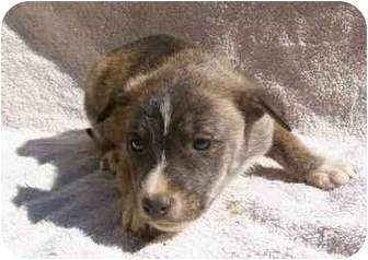Husky Mix Puppy for adoption in Gallatin, Tennessee - NFpup3