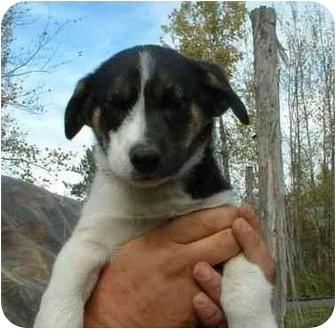 Siberian Husky Mix Puppy for adoption in Makinen, Minnesota - Sinbad