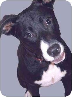 Border Collie/Labrador Retriever Mix Dog for adoption in Grass Valley, California - Cory