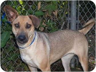 German Shepherd Dog/Shar Pei Mix Dog for adoption in El Cajon, California - Mira