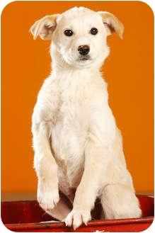 Labrador Retriever Mix Puppy for adoption in Portland, Oregon - Poe