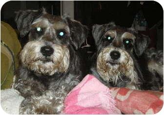 Schnauzer (Miniature) Dog for adoption in New Jersey, New Jersey - NJ - Abbott & Costello