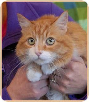 Domestic Shorthair Cat for adoption in Las Vegas, Nevada - Fawna