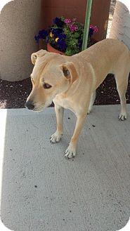 Labrador Retriever Mix Dog for adoption in Chino Valley, Arizona - Avery