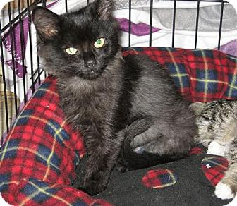 Domestic Longhair Kitten for adoption in North Haven, Connecticut - Jewel