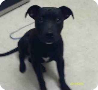Staffordshire Bull Terrier Mix Puppy for adoption in Yuba City, California - 12/27 Pudsley