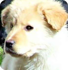 Golden Retriever/Labrador Retriever Mix Puppy for adoption in Wakefield, Rhode Island - CREAM BRULEE(ADORABLE PUPPY!!