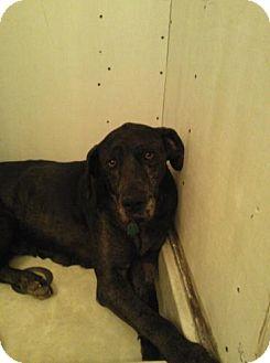 Great Dane Mix Dog for adoption in St. Louis, Missouri - Wynonna