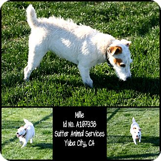 Jack Russell Terrier Mix Dog for adoption in Yuba City, California - 11/26 Millie