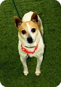 Terrier (Unknown Type, Small) Mix Dog for adoption in Mission Viejo, California - Preston