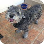 Schnauzer (Standard) Mix Dog for adoption in Austin, Texas - Marlon Brando