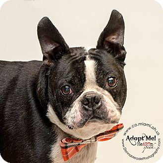 Boston Terrier Dog for adoption in Troy, Ohio - Corky