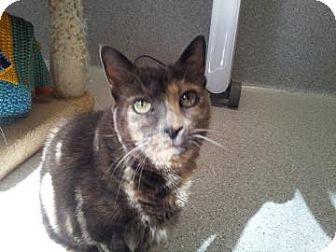Domestic Shorthair Cat for adoption in Mountain Center, California - Devin