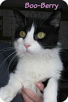 Domestic Mediumhair Cat for adoption in Menomonie, Wisconsin - Boo-Berry