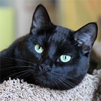 Domestic Shorthair Cat for adoption in Pacific Grove, California - KB