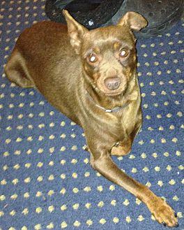 Miniature Pinscher Dog for adoption in Seward, Alaska - Rusty