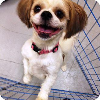 King Charles Spaniel/Shih Tzu Mix Dog for adoption in Kansas city, Missouri - toby
