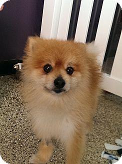 Pomeranian Mix Dog for adoption in Thousand Oaks, California - Charming