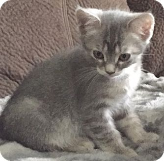 Domestic Shorthair Kitten for adoption in North Highlands, California - Bolivia