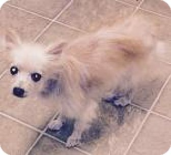 Pomeranian Mix Dog for adoption in Bunnell, Florida - Jasper