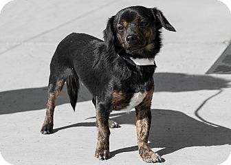 Dachshund Mix Dog for adoption in Las Vegas, Nevada - Dale