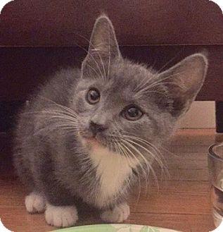 Domestic Shorthair Kitten for adoption in Long Beach, New York - Ashlee