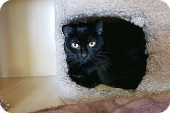 Domestic Shorthair Cat for adoption in Kingston, Washington - Friday