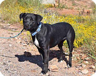 Labrador Retriever Mix Dog for adoption in Sierra Vista, Arizona - Marley