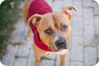 American Staffordshire Terrier Mix Dog for adoption in Reisterstown, Maryland - Nova