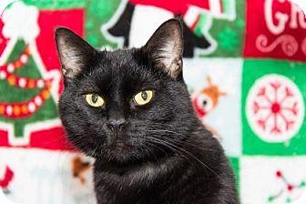 Domestic Shorthair Cat for adoption in Lowell, Massachusetts - Narcissa Malfoy