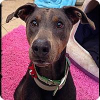 Adopt A Pet :: Dobi - Austin, TX