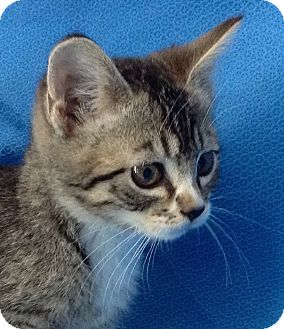 Domestic Shorthair Kitten for adoption in Meridian, Idaho - Kewpie Doll