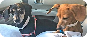 Dachshund Dog for adoption in Andalusia, Pennsylvania - Abby and Ally